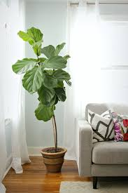 how to keep a fiddle leaf fig alive and happy fiddle leaf fig