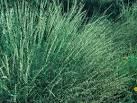 Image result for Bouteloua curtipendula