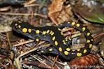 Image result for Ambystoma maculatum