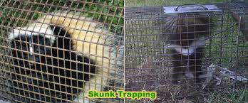 How Do You Get Rid Of Possums In The Backyard by How To Get Rid Of Skunks Under Your Shed Or House Without Killing Them