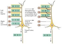 Basic model of Hebbian learning/synaptic plasticity: Cells that signal together create strong connections and stabilize; cells that signal weakly do not stabilize and are eventually removed.