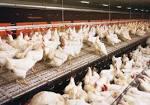 การเลี้ยงไก่ไข่ - farmthailand.