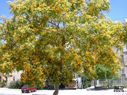 Tree With Bright Yellow Flowers - liliana usvat reforestation and medicinal use of the trees