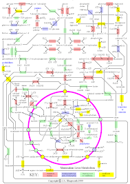 Meiosis Concept Map Metabolic Map Fearfully And Wonderfully Made Pinterest