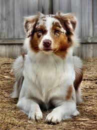 australian shepherd diseases aussie this face pups pinterest face dog and animal