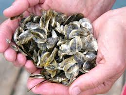 Baby Oysters