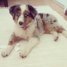 australian shepherd queen creek az 134 best aussies images on pinterest aussies animals and