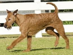 bluetick coonhound oregon norfolk terrier breeders in oregon freedoglistings