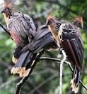 Hoatzin - Funky Stinkbird with Nice Crest | Animal Pictures and ... factzoo.com