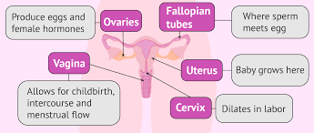 female fertility anatomy and functions of the female reproductive