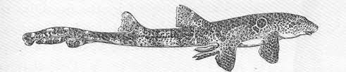 Speckled carpetshark