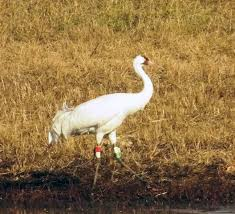 whooping cranes meet the class of 2015