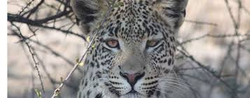 posted by Leopard     Leopard Ecology   Conservation