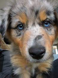 3 australian shepherd mix puppies for adoption the 25 best blue merle australian shepherd ideas on pinterest