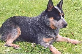 australian shepherd queensland heeler australian cattle dog pictures diet breeding puppies facts