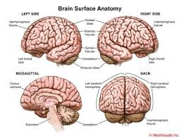 Sheep Brain Anatomy Game Cerebrum Parietooccipital Sulcus Cerebellum Reticular Formation