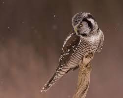 a rare owl turned up dead u2014are birders to blame audubon