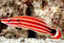 Image result for Bodianus opercularis
