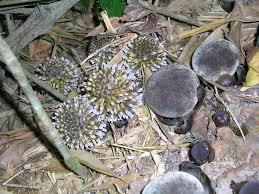 Balanophoraceae