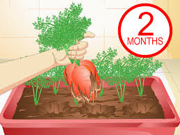 3 ways to grow carrots in pots wikihow