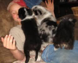 husky x australian shepherd for sale puppies for sale u2014 circle k farms teacup tiny toys toys and