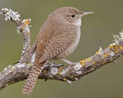 Pictures Of A House House Wren Audubon Field Guide