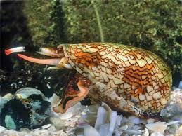 Veneno de caracoles cono podría usarse como base para nuevos fármacos