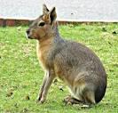Image result for Dolichotis patagonum
