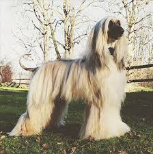 afghan hound long haired dogs the 16 breeds that are the hardest to potty train