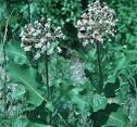 Image result for Asclepias amplexicaulis