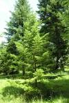 Image result for Abies sachalinensis