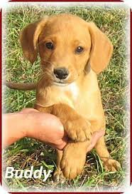 australian shepherd yorkshire terrier mix ramsey nj doberman pinscher hound unknown type mix meet