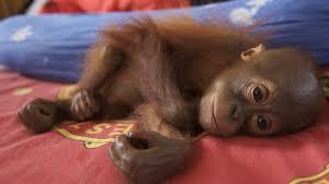 ' cruzada' para salvar orangotangos