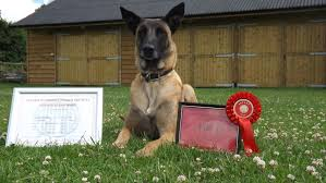 belgian shepherd uk breeders cosford dog training dog training classes wolverhampton puppy