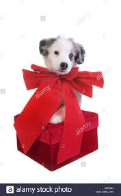 cute christmas australian shepherd puppy with big red bow around