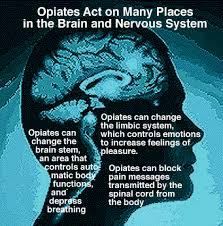 Opiate effect on brain