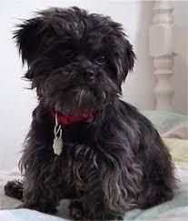 oldest affenpinscher affenpinscher puppies breeders affenpinschers