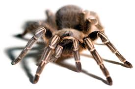Striped-knee tarantula