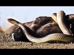 Survival Snakes and Eagles World News Male Leopard killing Eagle to save Black Mamba Snake   Eagle attack Mamba snake