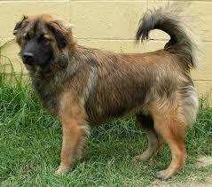 belgian sheepdog breeders in texas malinois puppies for sale ile ilgili pinterest u0027teki en iyi 25 u0027den
