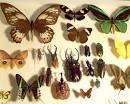 entomilogia