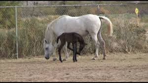thanksgiving horse pictures 2 day old baby egyptian arabian horse youtube
