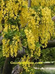 Tree With Bright Yellow Flowers - shrub and tree plants koelreuteria paniculata golden rain tree