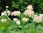 ความหมายของดอกบัว | Flowers convey. And beauty.