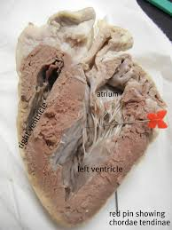 Sheep Brain Anatomy Game Sheep Heart Dissection Science Pinterest Sheep And Med