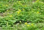 Image result for Stylophorum diphyllum