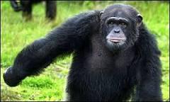Estudo explica diferença entre homem e chimpanzé | BBC Brasil ...