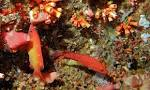 Image result for Bodianus dictynna