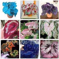 online get cheap begonia plants aliexpress com alibaba group