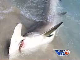Florida Shark Attack Map by Win For Sharks As Delray Beach Restricts Shark Fishing Tracking